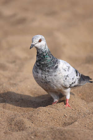 A beautiful urban pigeons in the sand looking for food photo