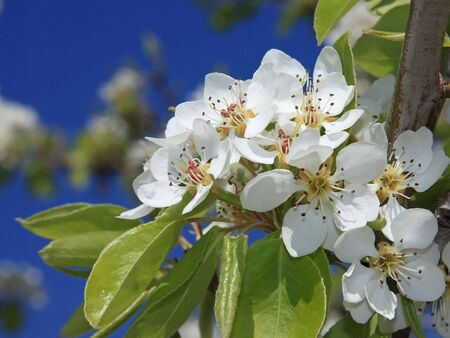 Very nice spring flowers on an apple tree Stock Photo - 6624723