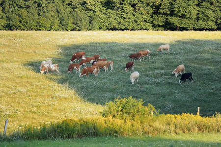 A herd of cows grazed peacefully on the summer day Stock Photo - 8182984