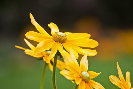 Pretty yellow spring flowers in the garden Stock Photo - 8245580