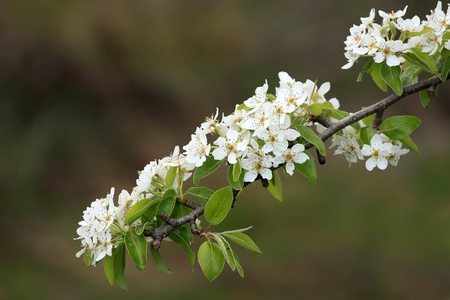 Very nice spring flowers on an apple tree Stock Photo - 8325096