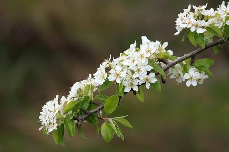 Very nice spring flowers on an apple tree Stock Photo - 8325096
