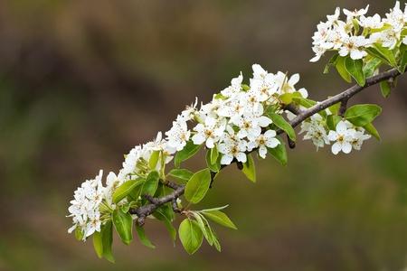 Very nice spring flowers on an apple tree Stock Photo - 8324424