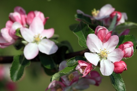 Beautiful pink apple flowers in close up Stock Photo - 8392513