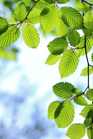 Beautiful, harmonious forest detail, with hornbeam leaves Stock Photo - 8392583