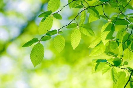 シデ葉、美しい、調和のとれた森林詳細
