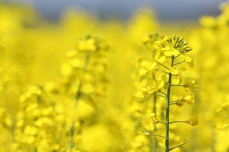 colza: Colza hermosas flores