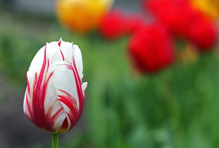 Close-up of a beautiful striped tulip Stock Photo - 8392502