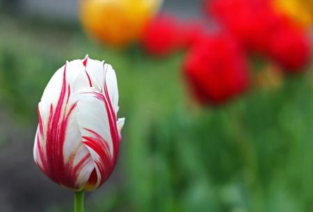 Close-up of a beautiful striped tulip Stock Photo - 8392502
