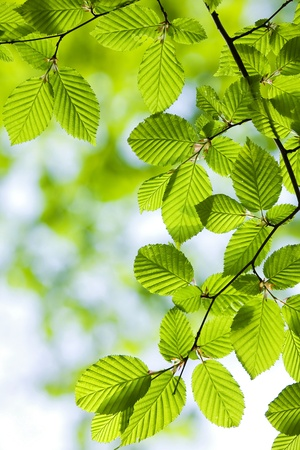 Beautiful, harmonious forest detail, with hornbeam leaves Stock Photo - 8453392