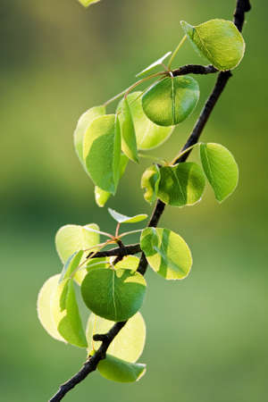 Beautiful, harmonious forest detail, with wild pear leaves Stock Photo - 8453318