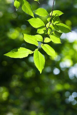 laevis: Beautiful, harmonious forest detail