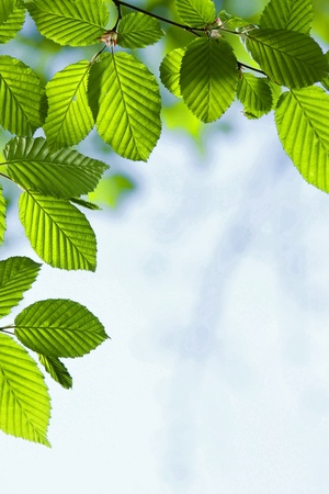 Beautiful, harmonious forest detail, with hornbeam leaves Stock Photo - 8464028