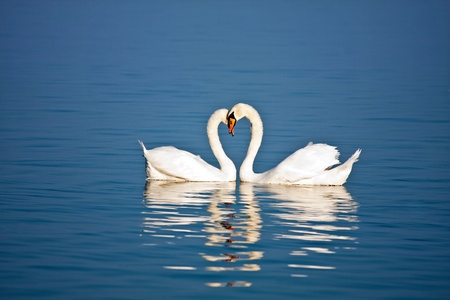 Beautiful pair of swans in love on blue water photo
