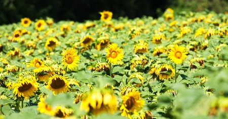 Beautiful sunflowers in a sunny day Stock Photo - 8580884