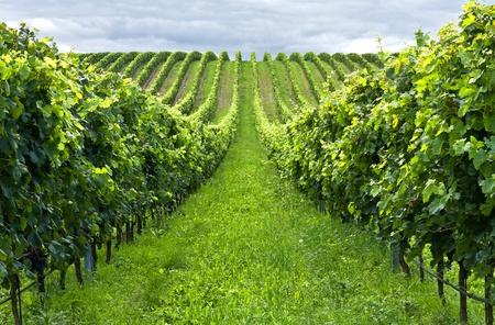 収穫前にブドウの美しい行 写真素材 - 8685725