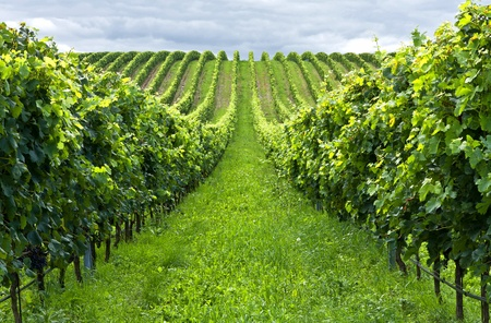 Beautiful rows of grapes before harvesting Stock Photo - 8685725