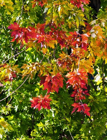 Beautifuel Colorful autumn maple leaves Stock Photo - 8685727