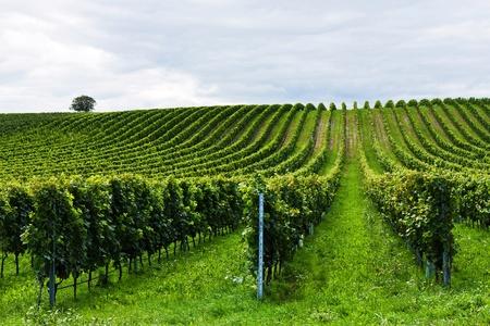 収穫前にブドウの美しい行 写真素材