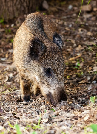 Young wild boar eat acorns under the oaks photo