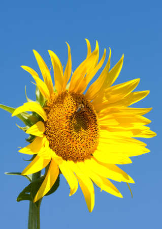 Beautiful yellow sunflower and blue sky photo