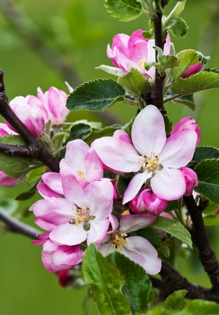 Beautiful pink apple flowers in close up Stock Photo - 9072974