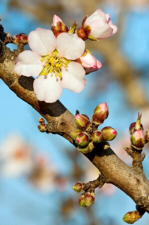 Beautiful almond blooms in spring