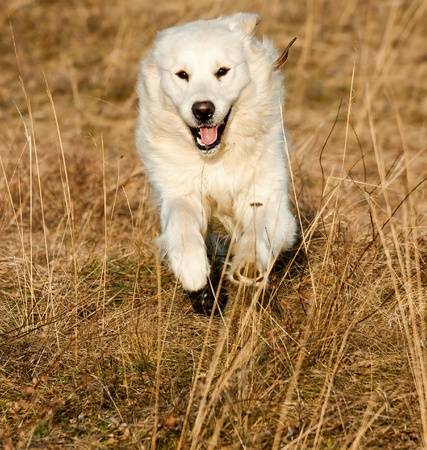 Golden Retriever runs on the autumn meadow photo