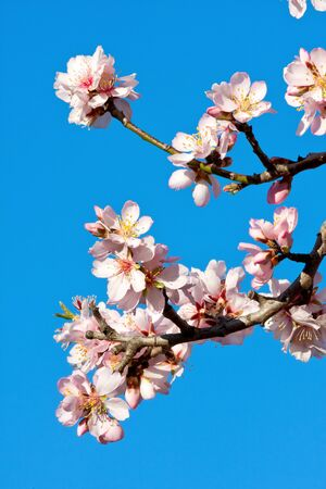 春に美しいのアーモンドの花 写真素材
