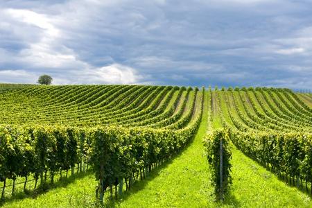 Vineyard: Hermosas filas de uvas antes de la cosecha