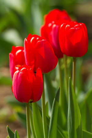 Beautiful red tulips in the garden Stock Photo - 9400347