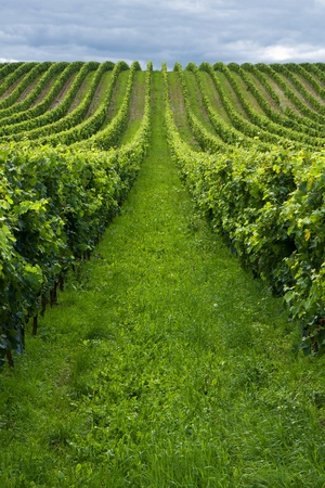 Beautiful rows of grapes before harvesting Stock Photo - 9400351