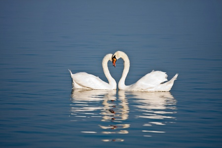 Beautiful pair of swans in love on blue water