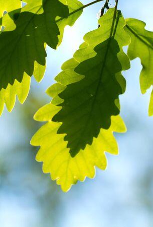 Oak leaf shadow of another leaf