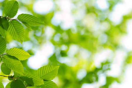 Beautiful, harmonious forest detail, with hornbeam leaves Stock Photo - 9619158