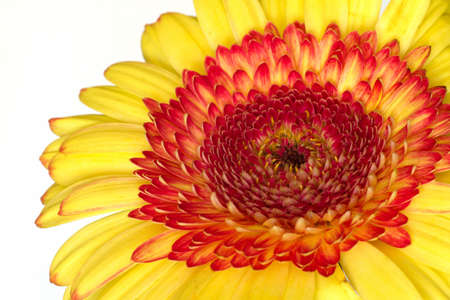 Beautiful yellow ,red gerbera on a white background Stock Photo - 9619162