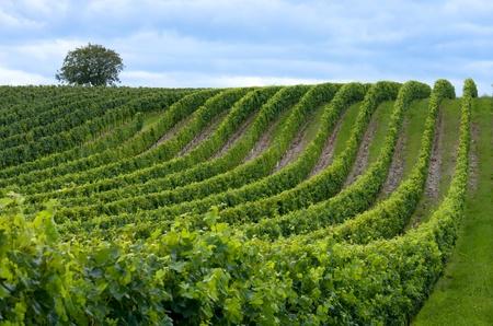 bodegas: Hermosas filas de uvas antes de la cosecha
