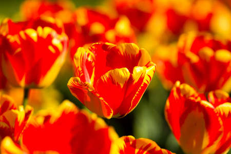 Beautiful colorful tulips in the garden Stock Photo - 9689698