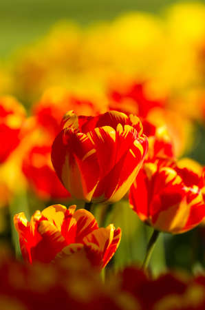Beautiful colorful tulips in the garden Stock Photo - 9689676