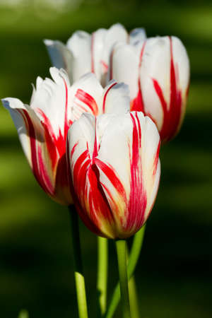 Beautiful colorful tulips in the garden  Stock Photo - 9689707
