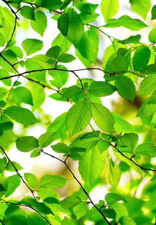Beautiful, harmonious forest detail, with hornbeam leaves Stock Photo - 9894596