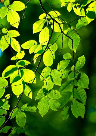Beautiful, harmonious forest detail, with hornbeam leaves Stock Photo - 10589398