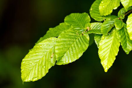 Beautiful, harmonious forest detail, with hornbeam leaves Stock Photo - 11211159