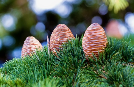 Three beautiful pine cone (Atlas Cedar)