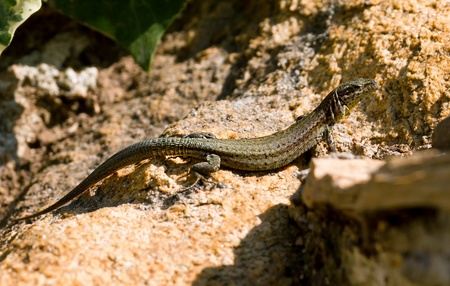 sleek: Sleek lizard waiting for the insects Stock Photo