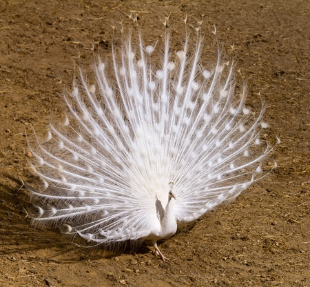mating: Beautiful white peacock in full ornament Stock Photo