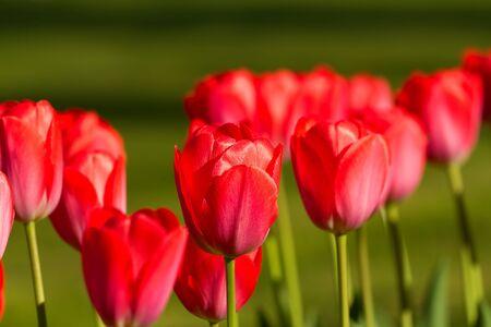 Beautiful red tulips Stock Photo - 11578086