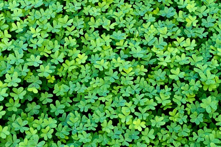 Close up of a nice, fresh clover field Stock Photo - 11578094