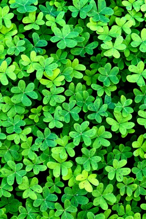 Close up of a nice, fresh clover field Stock Photo - 11578093