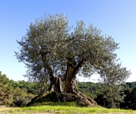 wood agricultural: Old olive tree with roots